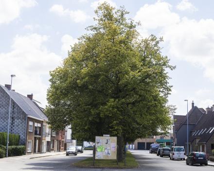 Mooie boom in het straatbeeld - Foto Maarten Devoldere